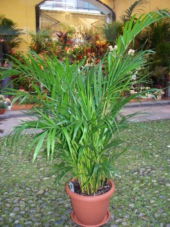 Kentia fioreria del corso fiori vigevano consegna for Kentia pianta